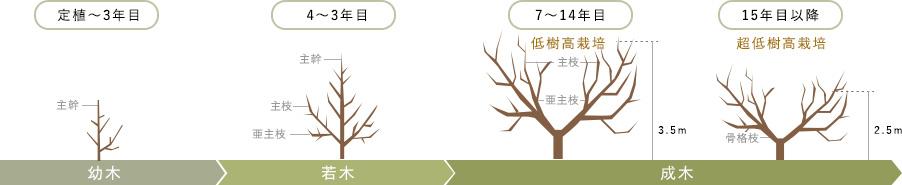樹齢別の整枝・剪定方法図